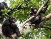 دراسة تكشف عن تصرفات للشمبانزى تشبه علاقات البشر مع بعضهما