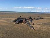 نفوق جماعى لـ50 حوتا على شواطئ أيسلندا يثير فزع علماء الأحياء.. صور