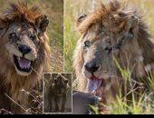 """العثور على """"سكار"""" الحقيقى شرير فيلم Lion King بكينيا.. اعرف القصة"""