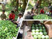 """""""الزراعة"""" تحدد عدة توصيات لأشجار المانجو بعد جمع المحصول.. تعرف عليها"""