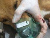 """صور.. الطب البيطرى بكفر الشيخ يجرى عملية إزالة ورم بالثدى لـ""""كلبة"""""""