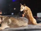 قارئ يشكو من انتشار الكلاب الضالة بمدينة الطلبة بإمبابة