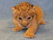 """""""سيمبا"""" الحقيقى موجود بحديقة حيوانات فى دالاس الأمريكية.. اعرف القصة"""