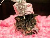عرض أزياء القطط السنوى فى مدينة مانهاتن الأمريكية