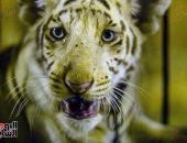 """دموع النمور .. """"حمادة وأنوسة"""" يبكيان على فراق الأم"""