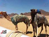 الاتحاد المصرى للهجن يشيد بتسهيلات السعودية لهجن مصر فى سباق ولى العهد