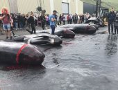 """حمام دم.. سكان جزر """"الفارو"""" يصطادون الحيتان ويذبحونها فى مشهد مرعب"""