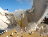 علماء يكتشفون طريقة لمنع طيور النورس من سرقة طعام المصطافين