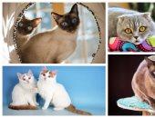 """الحبشى والسيامى و""""الفان"""" التركى أشهرها.. اعرف أذكى أنواع القطط"""