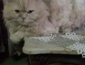 """فى اليوم العالمي للقطط.. """"ايهاب"""" يشارك بصورة قطه كوكي"""