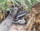 مصرع فتاة 16 عاما إثر سقوط نخلة على دراجتها فى كمبوديا.. صور