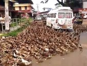 فى مشهد غريب.. المئات من البط تعطل حركة المرور فى شارع بالهند.. شوف الصور