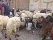 الزراعة: لجان مرورية على شوادر ومنافذ بيع الأضاحى للتأكد من سلامتها