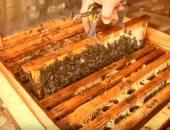 فيديو.. العالم يفقد أكثر من نصف مليار نحلة خلال 3 أشهر