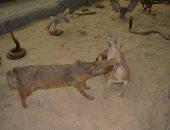يضم جميع البيئات المصرية منذ الفراعنة.. جولة داخل متحف الحيوان بأسيوط.. صور