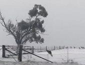 """مشهد لن تراه كثيرا.. الكنجر يقفز ويستمتع بالثلوج فى أستراليا ..""""صور"""""""