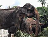 صحيفة إسبانية تنشر صورة لفيل 70 عاما يتضور جوعا فى مهرجان دينى بسريلانكا