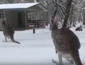 "شاهد.. رد فعل ""كنغر"" بعد سقوط نادر للثلج فى استراليا"