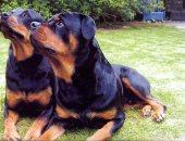 """الوفاء فى دمهم.. اعرف أفضل وأغلى أنواع الكلاب.. """"الفرعونى أهمها"""""""