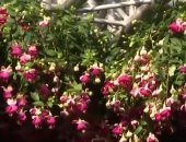 """شاهد..إنطلاق مهرجان """"زمن الزهور"""" فى شوارع العاصمة البلجيكية """"بروكسل"""""""