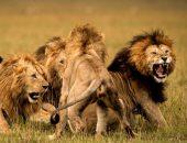 بلد الـ8 آلاف أسد.. تنزانيا تمتلك أكبر عدد من الأسود فى أفريقيا