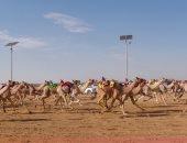 ننشر نتائج منافسات اليوم الثانى لسباق ولى العهد للهجن بالسعودية