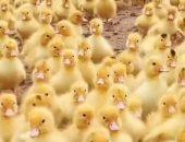 فى مشهد لطيف.. آلاف صغار البط يندفعون إلى السباحة فى مياه نهر بالصين