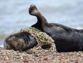 صور صادمة لحيوانات بحرية تختنق بحلقات البلاستيك وشبكات الصيد