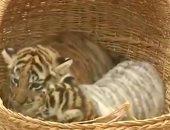 شاهد.. ولادة ثلاثة أشبال لنمور البنغال من النوع المهدد بالإنقراض فى بيرو