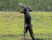 شاهد.. تمساح يتسلق قاعدة عسكرية أمريكية فى ولاية فلوريدا