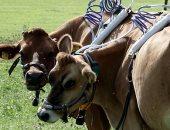 """صور.. علماء يراقبون الميثان داخل """"البقر"""" لقياس معدلات الغازات الدفيئة"""