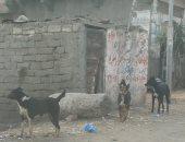 اضبط مخالفة.. انتشار الكلاب الضالة بقرية كفر الجنينة فى المحلة.. صور