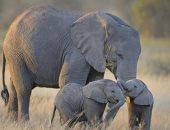 عشان يحافظوا عليهم.. فرض حظر على الاتجار فى الفيلة الأفريقية الرضيعة