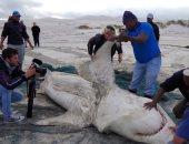 أسماك القرش الأبيض الكبيرة تغادر مناطقها المفضلة لهذه الأسباب