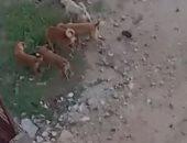 شكوى من استمرار من انتشار الكلاب الضالة بشارع محمد مبروك بشتيل