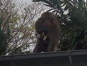 قرد شرير يخطف قطا صغيرا أثناء تناوله الموز.. اعرف التفاصيل