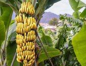 الزراعة تحدد 8 توصيات لحدائق الموز بالأراضى الرملية.. تعرف عليها