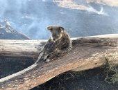 """قلب الأم.. حيوان كوالا مصابة تحتضن صغيرها لحمايته من حرائق """"أستراليا"""""""