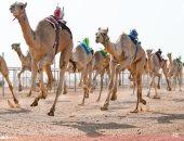 صور.. تنظيم 25 شوط صباحى ضمن فعاليات سباق ولى العهد للهجن بالسعودية