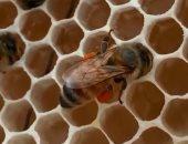 شاهد.. تربية النحل علاج للاكتئاب فى الولايات المتحدة