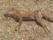 إعدام 200 كلب ضال بالدقهلية خلال حملة من الطب البيطرى