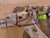 انطلاق فعاليات الاحتفال بختام مهرجان ولى العهد للهجن بالسعودية