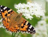 بسبب تغير المناخ.. نوع من الفراشات يهاجر بأعداد غير مسبوقة إلى بريطانيا