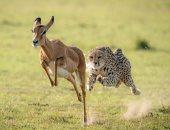 صور.. مطاردة بين فهد وظبى إمبالا فى غابات كينيا