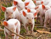 فيديو.. بعد كورونا.. أنفلونزا الخنازير تثير المخاوف مجددا