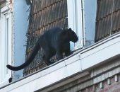 نمر أسود يتنزه على سطح أحد المبانى فى فرنسا