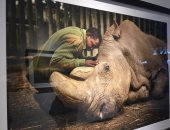 """صور توثق اللحظات الأخيرة فى حياة """"سودان"""" آخر وحيد قرن أبيض على وجه الأرض"""