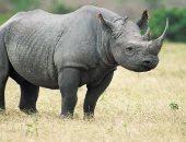 تراجع حالات الصيد الجائر لحيوان وحيد القرن فى جنوب أفريقيا