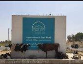 صور.. قطيع مواشى أمام مدخل مدينة زويل بأكتوبر