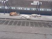قارئ يشكو من انتشار الكلاب الضالة أمام محطة مترو روض الفرج
